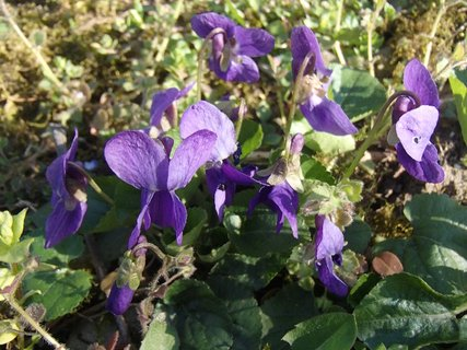 FOTKA - fialky ešte kvitnú
