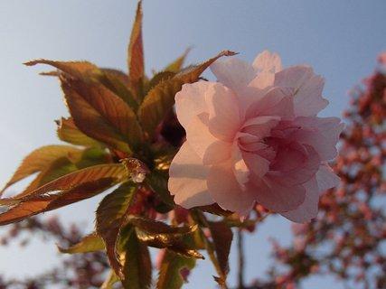FOTKA - ružový kvietok