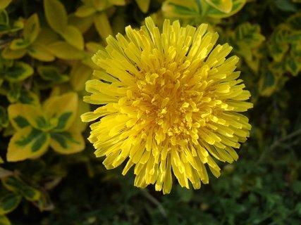 FOTKA - jasno žltá púpava