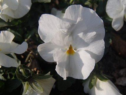 FOTKA - biela sirôtka na slnku