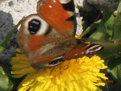 FOTKA - Motýl na pampelišce 27.3. 2014