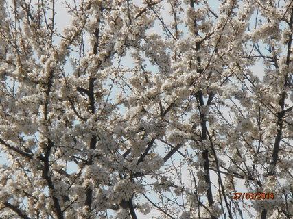 FOTKA - Rozkvetlý špendlík 27.3. 2014