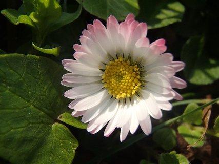 FOTKA - s ružovkastým okrajom