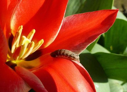 FOTKA - odpociva v tulipanu