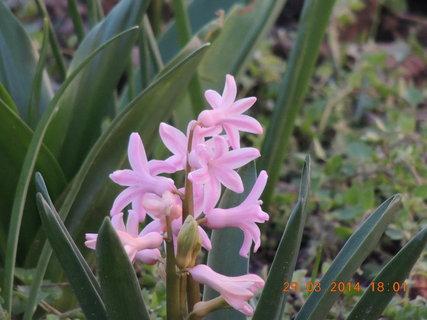 FOTKA - Hyacint jediný růžový 29.3. 2014
