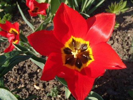 FOTKA - červený tulipán
