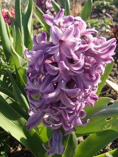 FOTKA - fialkový hyacint