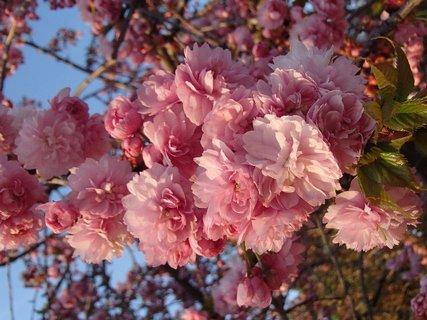 FOTKA - ružová halúzka