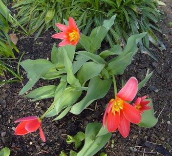 FOTKA - botanické tulipány