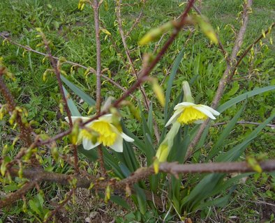 FOTKA - kvetoucí narcisky v keři zlatice