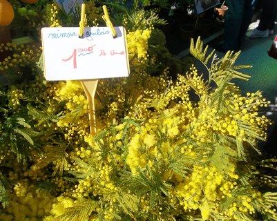 FOTKA - Menton - mimoza