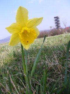 FOTKA - Narcis z Bílých Karpat