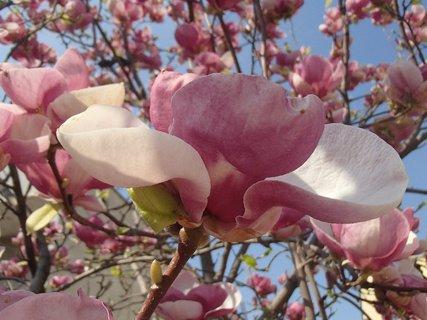 FOTKA - kvet magnólie