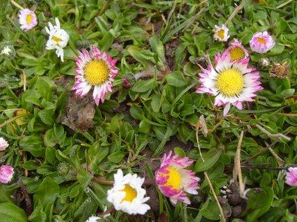 FOTKA - sedmikrásky v trávě