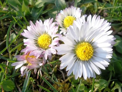 FOTKA - Sedmikrásky v trávě.