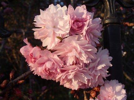 FOTKA - ružica ružových kvietkov