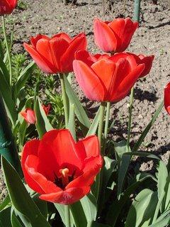FOTKA - už začínajú kvitnúť tulipány
