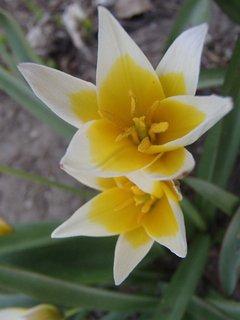 FOTKA - skalkové tulipány