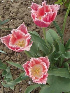 FOTKA - čipkované tulipány