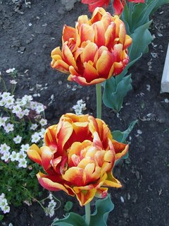 FOTKA - plnokveté tulipány