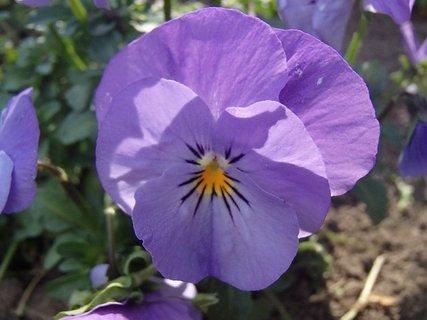 FOTKA - fialková kráska