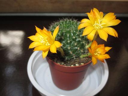 FOTKA - rozkvetlý kaktus