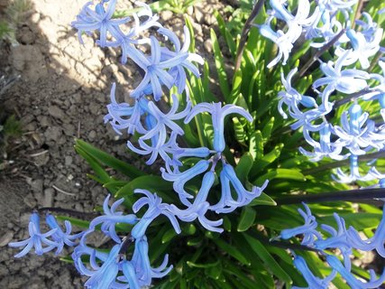 FOTKA - Hyacinty na záhoně