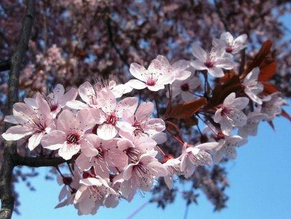 FOTKA - Jarní růžová větvička