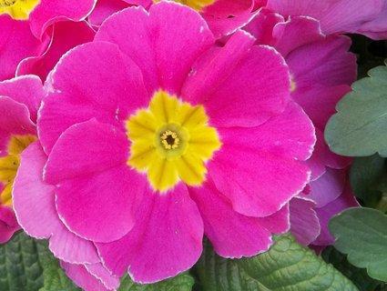 FOTKA - Květ prvosenky