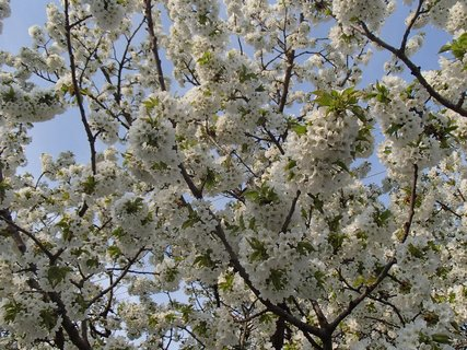 FOTKA - čerešňa rozkvitla