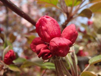 FOTKA - puky kvetov