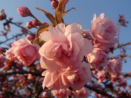 FOTKA - kvety sakury