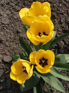 FOTKA - žlté tulipány