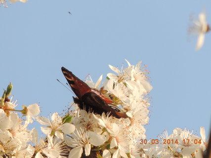 FOTKA - Motýl na rozkvetlém stromě 30.3. 2014