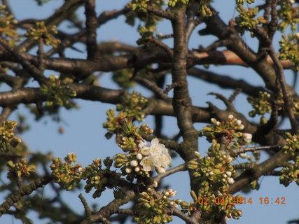 FOTKA - První třešňový květ 2.4. 2014