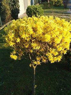 FOTKA - stromčekový zlatý dážď