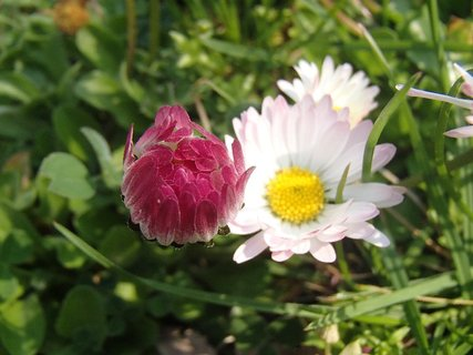 FOTKA - jarné sedmokrásky