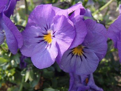 FOTKA - fialkové sirôtky kvitnú