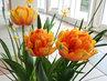 plnokvěté tulipány