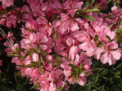 FOTKA - ružové kvietky na kríku