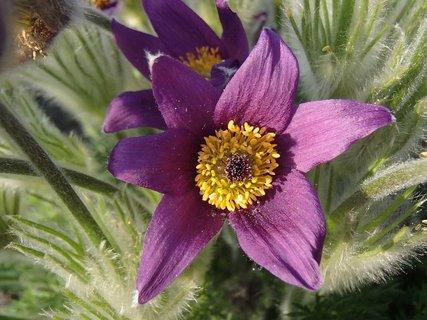 FOTKA - fialový poniklec na záhrade