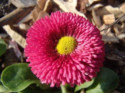 FOTKA - červená sedmokráska