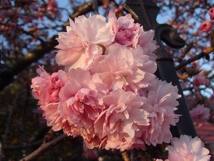 FOTKA - ružica sakury