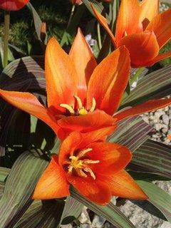 FOTKA - oranžové tulipány