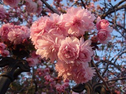 FOTKA - ružová krása
