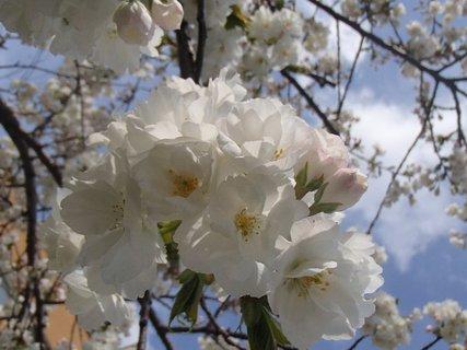 FOTKA - biela jarná krása
