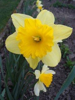 FOTKA - narcis v záhrade