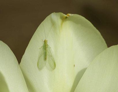 FOTKA - odpociva na tulipanu