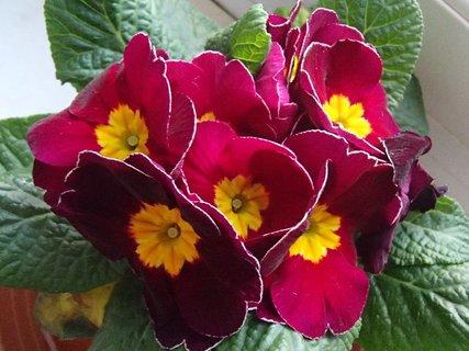 FOTKA - kvitne bordov� prvosienka