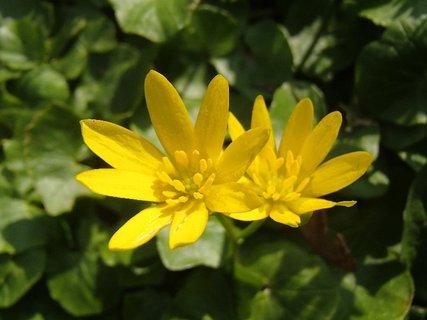 FOTKA - žlté jarné kvietky